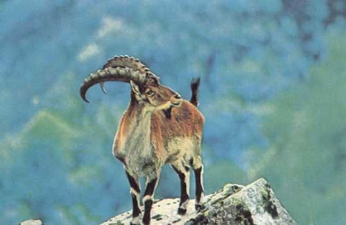 Walia-Ibex---Semien-Mountai_jpg