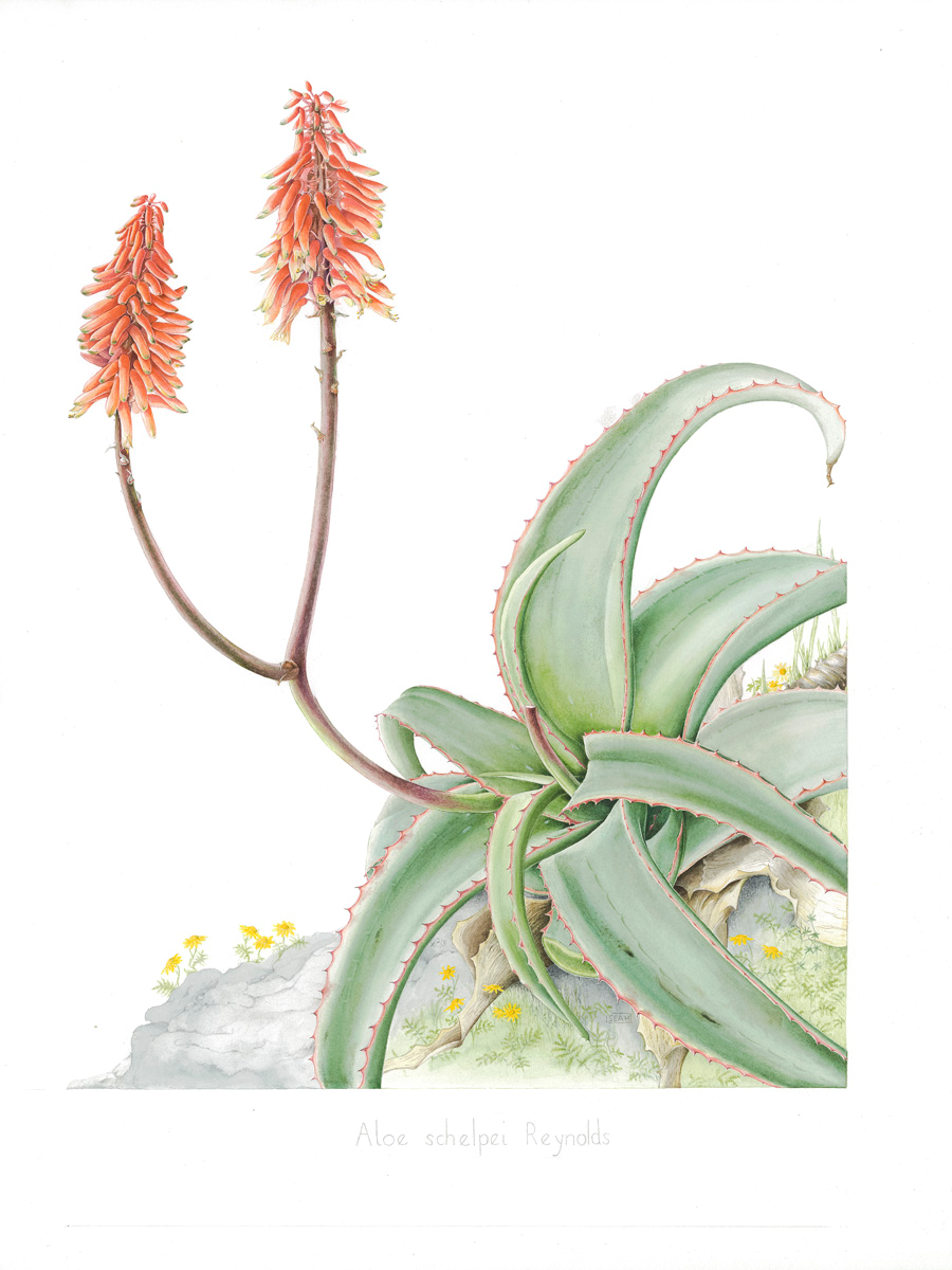 Aloe schelpei which grows on cliff edges. Copyright Sarah Howard